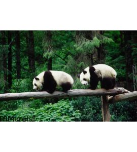 baby Pandas Wall Mural Wall art Wall decor