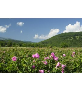 Rose fields Wall Mural Wall art Wall decor