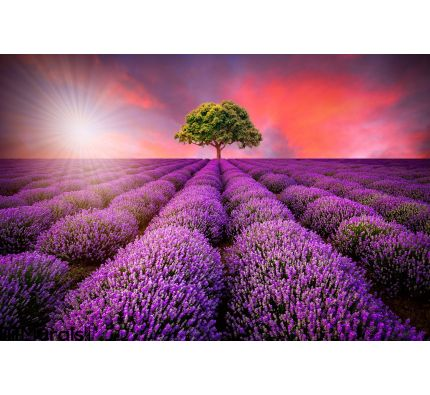 Stunning landscape with lavender field at sunset Wall Mural Wall art Wall decor