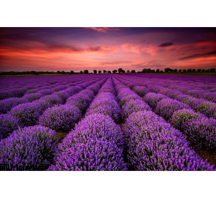 Lavender Field Sunset Wall Mural Wall art Wall decor