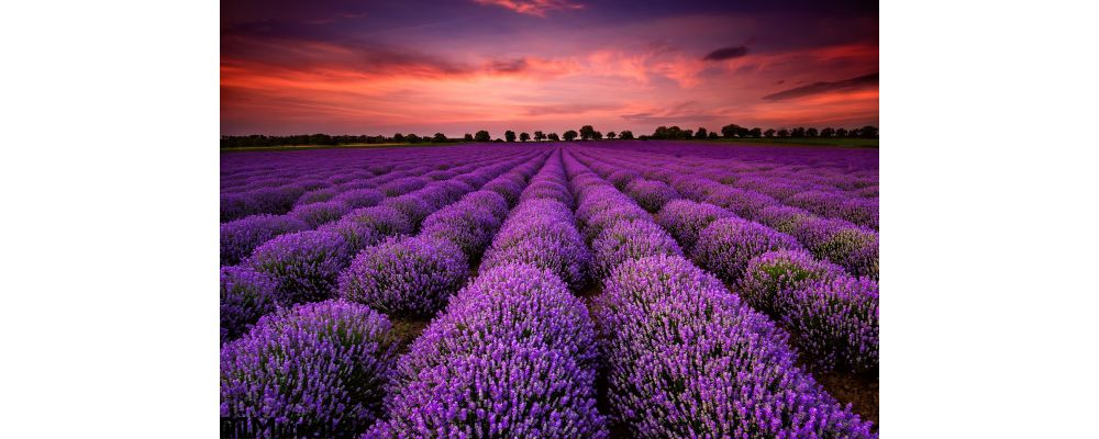 Lavender Field Sunset Wall Mural