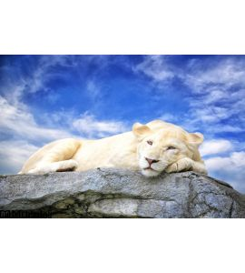 White Lion Sleep Rock Wall Mural