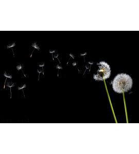 Dandelion Blowing Wall Mural