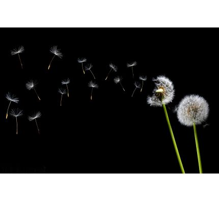 Dandelion Blowing Wall Mural Wall Tapestry tapestries