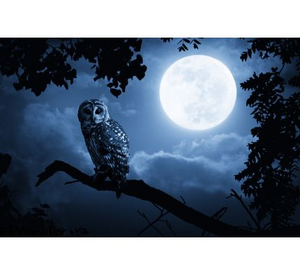 Owl Watches Intently Illuminated Full Moon Wall Mural Wall Tapestry tapestries