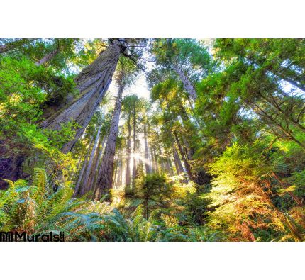 Beautiful Early Morning Old Growth Redwood Forest Wall Mural Wall art Wall decor