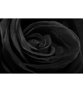 Black Rose Wall Mural