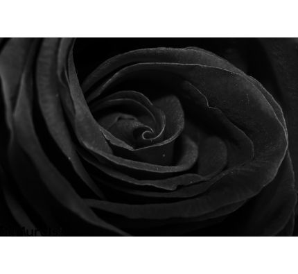 Black Rose Wall Mural Wall Tapestry tapestries