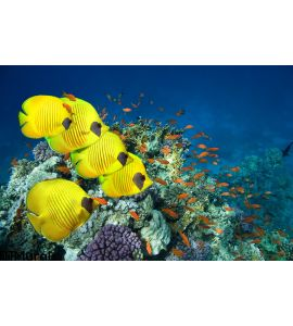 School Masked Butterfly Fish Wall Mural
