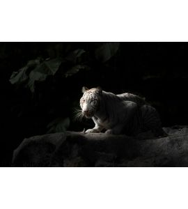 White Bengal Tiger Wall Mural