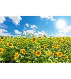 Sunflowers Field Wall Mural
