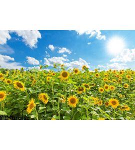 Sunflowers Field Wall Mural