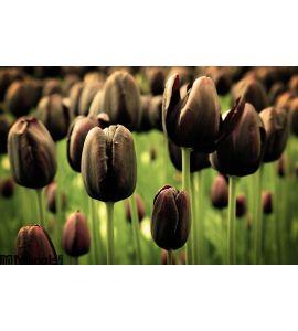 Unique Black Tulip Flowers Wall Mural