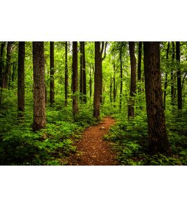 Trail Tall Trees Lush Forest Shenandoah National Park Wall Mural