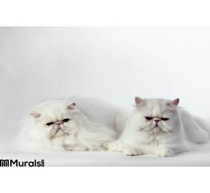2 White Persian Cats Wall Mural Wall art Wall decor