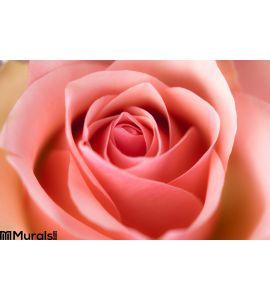 Macro Image Rose Wall Mural