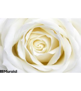 White Rose Wall Mural