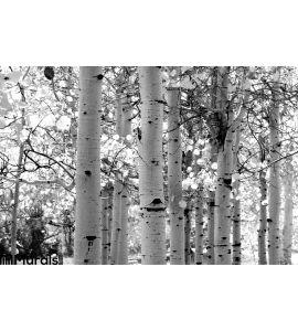 Black White Image Aspen Trees Wall Mural Wall art Wall decor