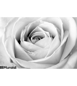 White Rose Close Up Wall Mural