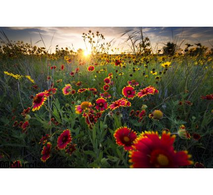 Breezy Dawn Over Texas Wildflowers Wall Mural Wall art Wall decor