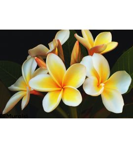 Glorious Frangipani Wall Mural Wall art Wall decor