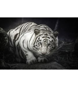 White Tiger Wall Mural Wall art Wall decor