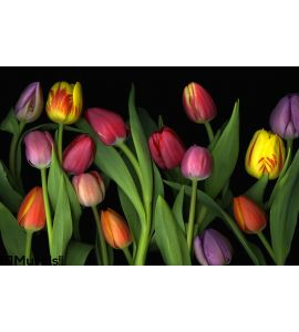 Colorful Tulips Wall Mural Wall art Wall decor