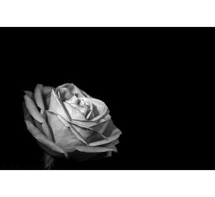 Rose Black Background Wall Mural Wall art Wall decor