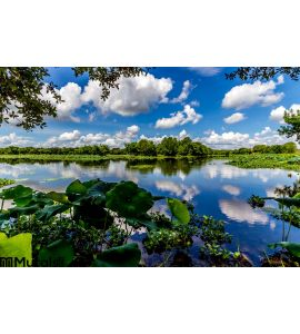 Colorful Wide Angle Shot Beautiful 40 Acre Lake Summer Yellow Lotus Lilies Blue Skies White Clouds Green Foliage Wall Mural