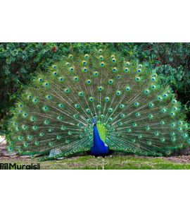 Peacock with fanned tail Wall Mural Wall Tapestry tapestries