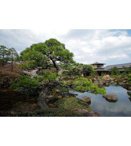 Twisted Pine Tree Pond Zen Garden Wall Mural