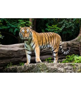 Tiger Wall Mural Wall art Wall decor