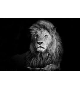 Beautiful Lion Romeo Ii Wall Mural Wall art Wall decor