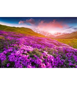 Magic pink rhododendron flowers in the mountains. Summer sunrise Wall Mural Wall art Wall decor