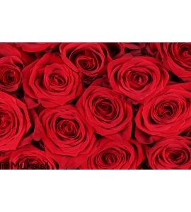 Background red roses on Valentine Wall Mural Wall art Wall decor