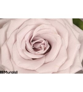 Rose Flower Close Up Wall Mural