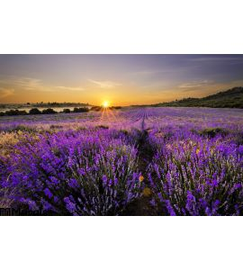 Sunset Over Lavender Field Wall Mural Wall art Wall decor