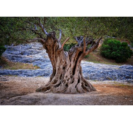 Old Olive Tree Trunk Roots Branches Wall Mural Wall Tapestry tapestries