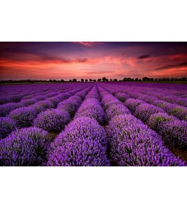 Lavender field at sunset Wall Mural