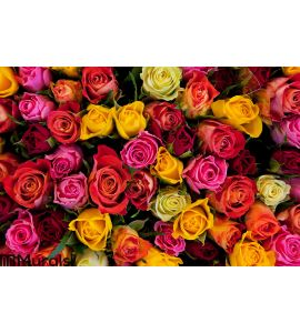Colorful roses background Wall Mural Wall art Wall decor