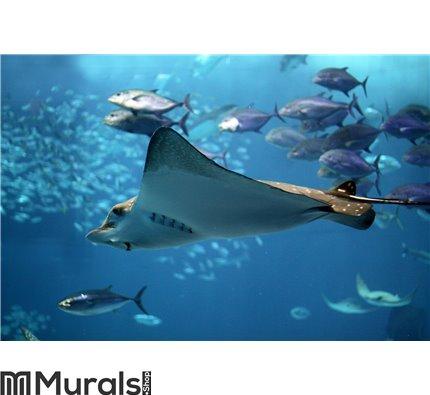 Detail of a manta ray swimming underwater Wall Mural Wall art Wall decor