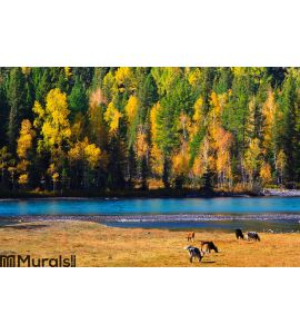 Autumn colors, Kanas, Xinjiang China Wall Mural Wall art Wall decor