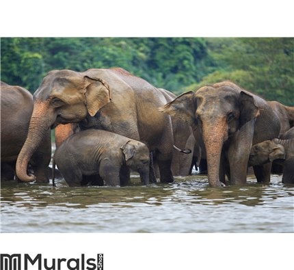 Elephant family in water Wall Mural Wall art Wall decor