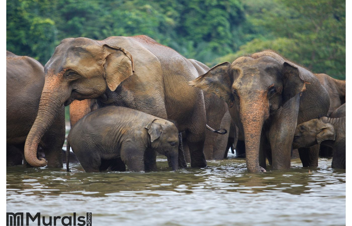 Elephant family in water wall mural for Elephant wall mural